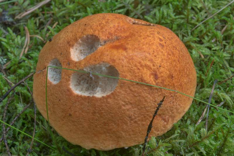 "Orange birch bolete (<B>Leccinum versipelle</B>) in Orekhovo, 40 miles north from Saint Petersburg. Russia, <A HREF=""../date-ru/2017-08-18.htm"">August 18, 2017</A>"
