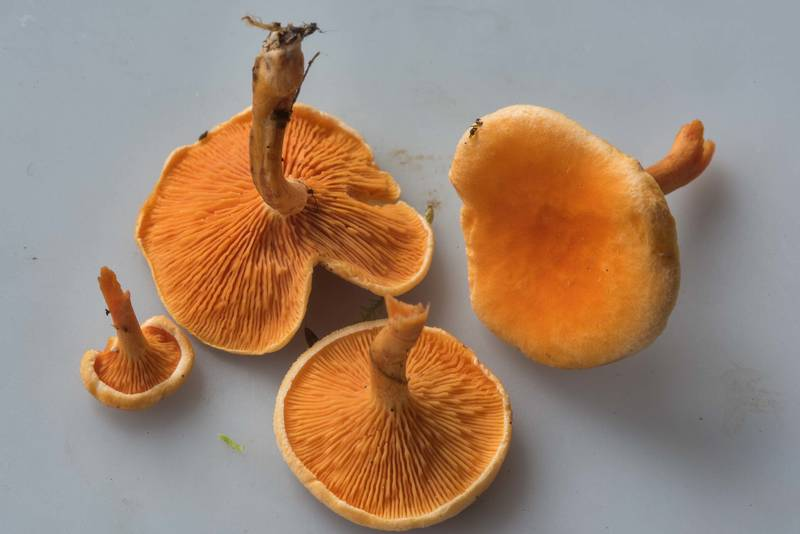 False chanterelle mushrooms (Hygrophoropsis aurantiaca) taken from area of Orekhovo, 40 miles north from Saint Petersburg. Russia, August 18, 2017