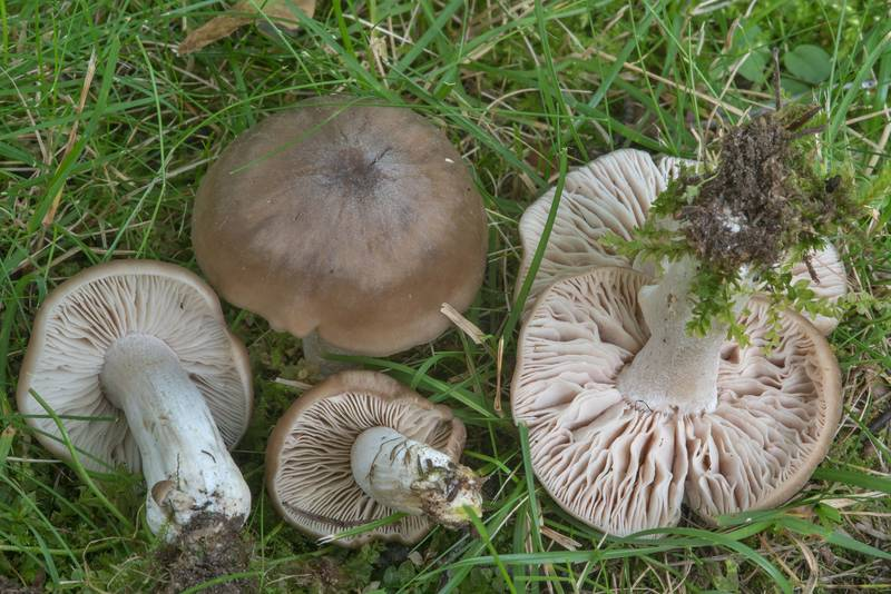 "Pinkgill mushrooms <B>Entoloma lividoalbum</B> near a memorial in Gardens of Polytechnic Institute. Saint Petersburg, Russia, <A HREF=""../date-en/2017-08-19.htm"">August 19, 2017</A>"