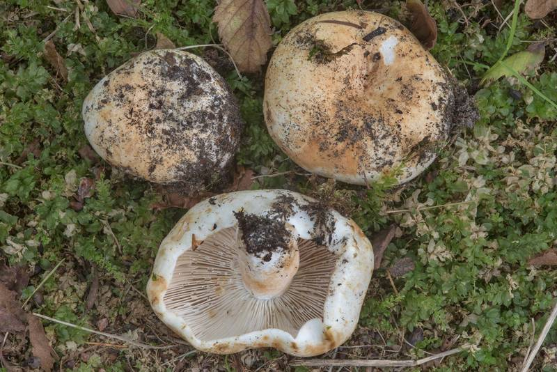 "Milk white brittlegill mushrooms (<B>Russula delica</B>) on a lawn in Gardens of Polytechnic Institute. Saint Petersburg, Russia, <A HREF=""../date-ru/2017-08-19.htm"">August 19, 2017</A>"