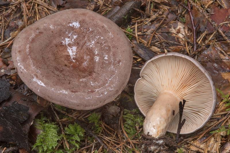 "Tacked milkcap mushrooms (<B>Lactarius trivialis</B>) in a forest in Dibuny, near Saint Petersburg. Russia, <A HREF=""../date-ru/2017-08-20.htm"">August 20, 2017</A>"
