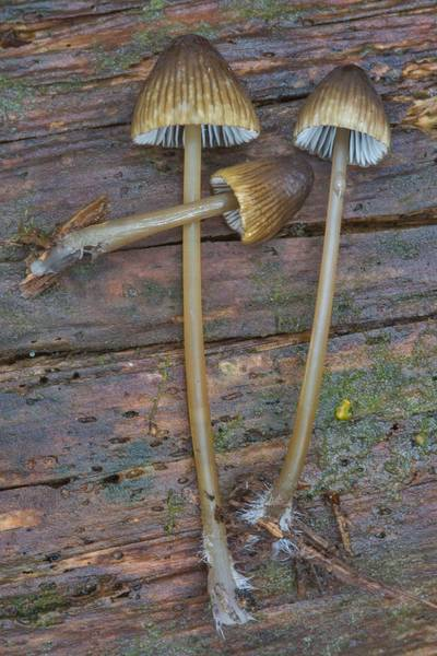 "Olive edge bonnet mushrooms (<B>Mycena viridimarginata</B>)(?) in Dibuny, near Saint Petersburg. Russia, <A HREF=""../date-ru/2017-08-20.htm"">August 20, 2017</A>"