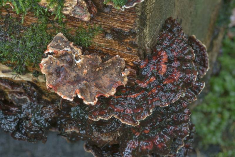 Bleeding oak crust fungus (Stereum gausapatum)(?) on a log near Lisiy Nos. West from Saint Petersburg, Russia, August 23, 2017