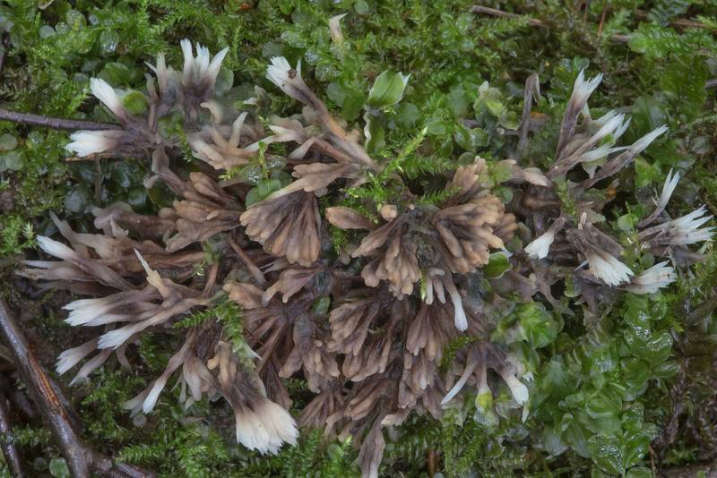 "Earthfan fungus <B>Thelephora penicillata</B> in moss near Lisiy Nos. West from Saint Petersburg, Russia, <A HREF=""../date-en/2017-08-23.htm"">August 23, 2017</A>"
