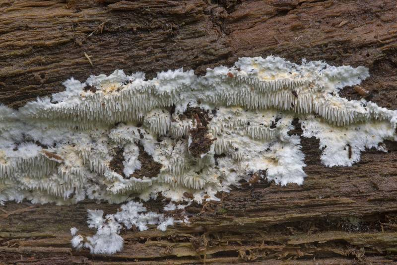 "Immature timber mushrooms <B>Dentipellis fragilis</B> on a large rotten oak near Lisiy Nos. West from Saint Petersburg, Russia, <A HREF=""../date-ru/2017-08-23.htm"">August 23, 2017</A>"