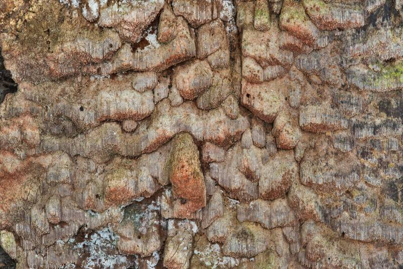Poroid mushrooms Phellinidium ferrugineofuscum on a bark of a dry spruce tree near Lisiy Nos. West from Saint Petersburg, Russia, August 23, 2017
