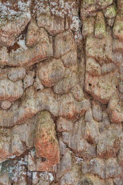 Corticioid mushrooms Phellinidium ferrugineofuscum on a bark of a dry spruce tree near Lisiy Nos. West from Saint Petersburg, Russia, August 23, 2017