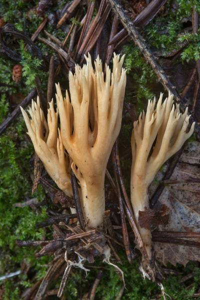 Coral mushrooms Ramaria eumorpha(?) in a spruce forest on west side of Kavgolovskoe Lake near Toksovo, north from Saint Petersburg. Russia, August 25, 2017