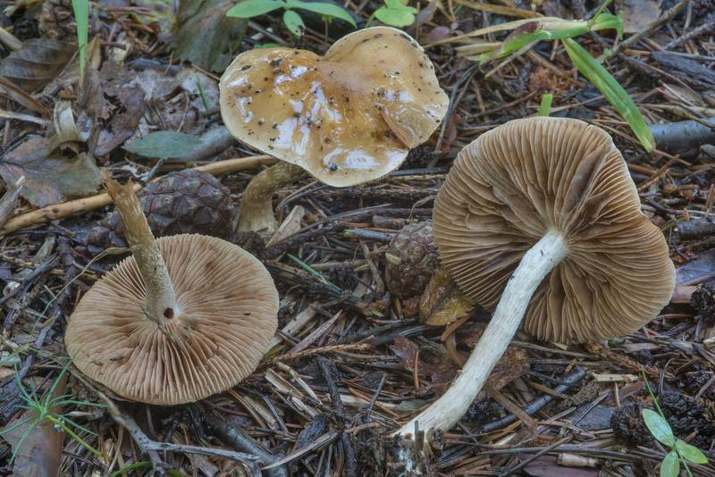 "Girdled webcap mushrooms (<B>Cortinarius trivialis</B>)(?) in Tarkhovka Park, west from Saint Petersburg. Russia, <A HREF=""../date-ru/2017-08-26.htm"">August 26, 2017</A>"