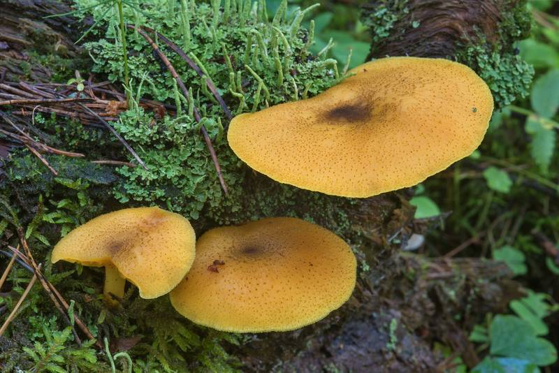 "Prunes and custard mushrooms (<B>Tricholomopsis decora</B>) in Tarkhovka Park, west from Saint Petersburg. Russia, <A HREF=""../date-ru/2017-08-26.htm"">August 26, 2017</A>"