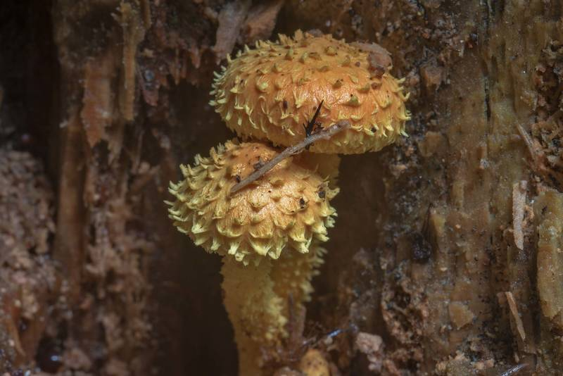 "Flaming scalycap mushroom (<B>Pholiota flammans</B>) on a side of a stump in Tarkhovka Park, west from Saint Petersburg. Russia, <A HREF=""../date-ru/2017-08-26.htm"">August 26, 2017</A>"