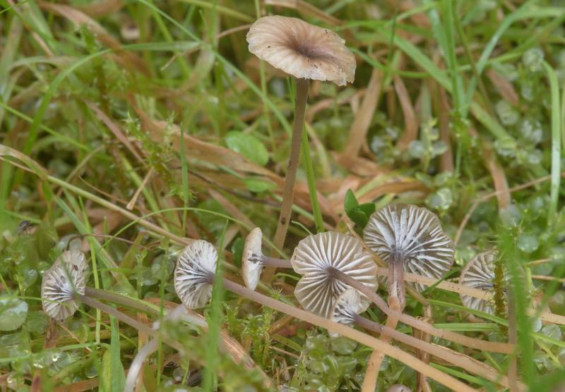 "Collared mosscap mushrooms (<B>Rickenella swartzii</B>) near Beloe Lake near Lembolovo, 40 miles north from Saint Petersburg. Russia, <A HREF=""../date-ru/2017-08-27.htm"">August 27, 2017</A>"