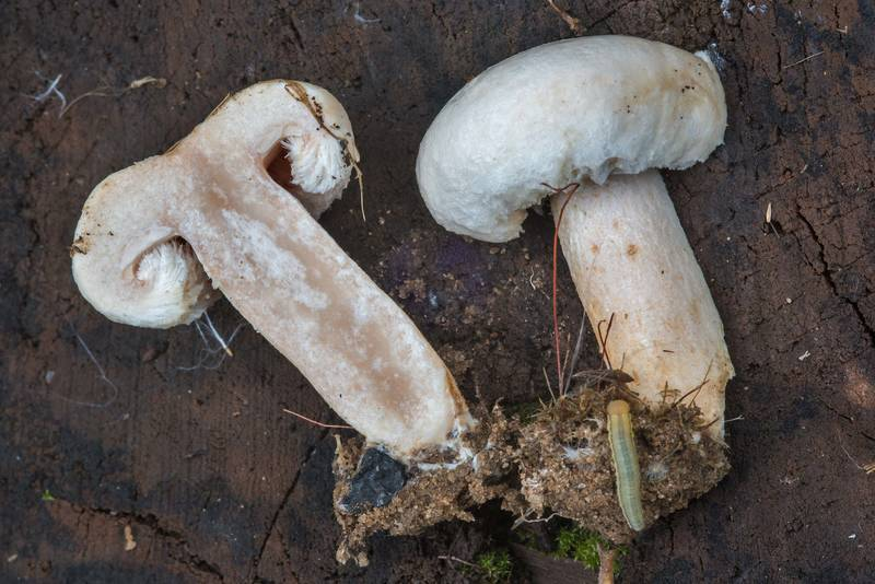 "Downy milk cap mushroom (<B>Lactarius pubescens</B>) on roadside near Lembolovo, 40 miles north from Saint Petersburg. Russia, <A HREF=""../date-ru/2017-08-27.htm"">August 27, 2017</A>"