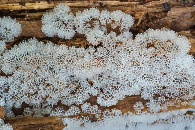 "Coral slime mold (<B>Ceratiomyxa fruticulosa</B> var. porioides) in Petiayarvi, 50 miles north from Saint Petersburg. Russia, <A HREF=""../date-ru/2017-08-30.htm"">August 30, 2017</A>"