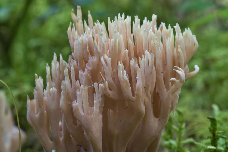 Coral mushrooms (Ramaria eumorpha)? in Kannelyarvi, 45 miles north from Saint Petersburg. Russia, August 30, 2017