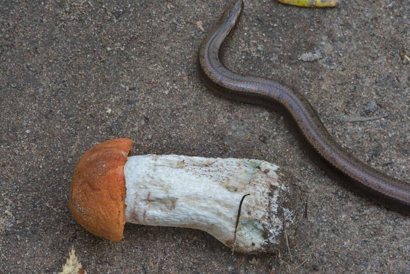 "Red cap bolete mushroom <B>Leccinum albostipitatum</B>(?) with the slowworm legless lizard (Anguis fragilis) on roadside in Petiayarvi, 50 miles north from Saint Petersburg. Russia, <A HREF=""../date-ru/2017-08-30.htm"">August 30, 2017</A>"