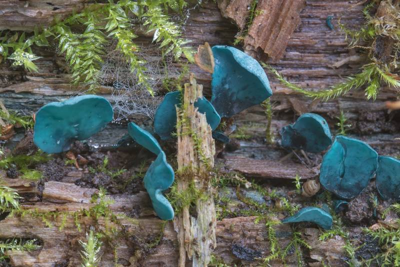 "Green elfcup mushrooms (<B>Chlorociboria aeruginascens</B>) on a rotten log near Kuzmolovo, north from Saint Petersburg. Russia, <A HREF=""../date-ru/2017-09-03.htm"">September 3, 2017</A>"