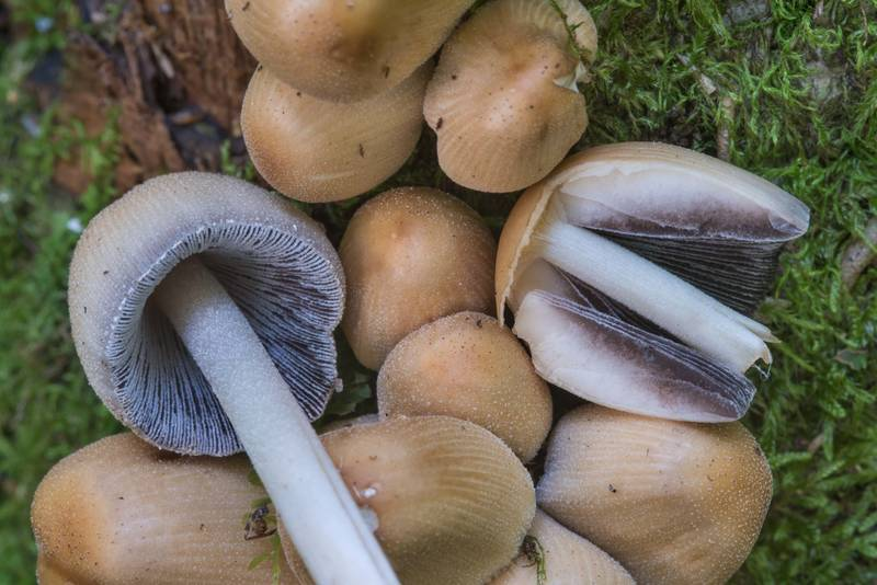 "Glistening inkcap mushrooms (<B>Coprinellus micaceus</B>) in Dubki Park. Sestroretsk near Saint Petersburg, Russia, <A HREF=""../date-en/2017-09-05.htm"">September 5, 2017</A>"