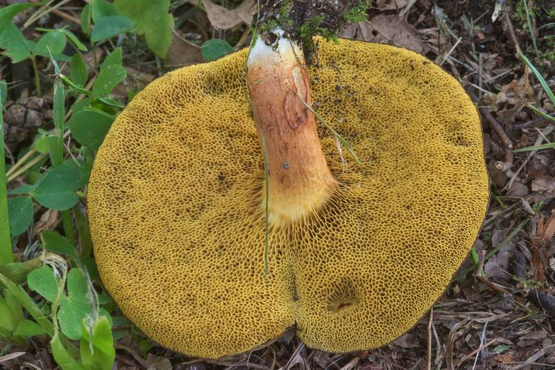 "Rusty bolete mushroom (<B>Boletus ferrugineus</B>)(?) in Dubki Park. Sestroretsk near Saint Petersburg, Russia, <A HREF=""../date-en/2017-09-05.htm"">September 5, 2017</A>"