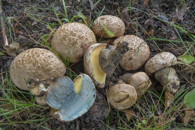 "Rooting bolete mushrooms (<B>Caloboletus radicans</B>, Boletus radicans) on a lawn under maple and linden trees near Dvortsovaya Street in Alexander Park in Pushkin, former Tsarskoe Selo, near Saint Petersburg. Russia, <A HREF=""../date-ru/2017-09-07.htm"">September 7, 2017</A>"