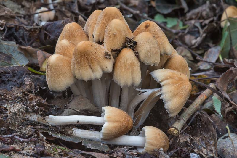 "Glistening inkcap mushrooms (<B>Coprinellus micaceus</B>) in West Kotlin Nature Reserve in Kronstadt. Saint Petersburg, Russia, <A HREF=""../date-en/2017-09-08.htm"">September 8, 2017</A>"