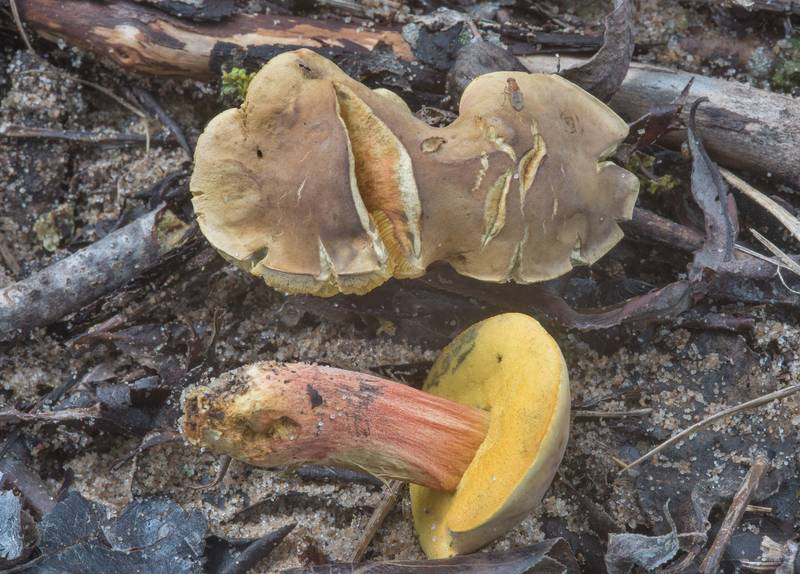 Uneven brown and lighter towards the edge caps of bolete mushrooms Hortiboletus bubalinus on a beach in West Kotlin Nature Reserve in Kronstadt. Saint Petersburg, Russia, September 8, 2017