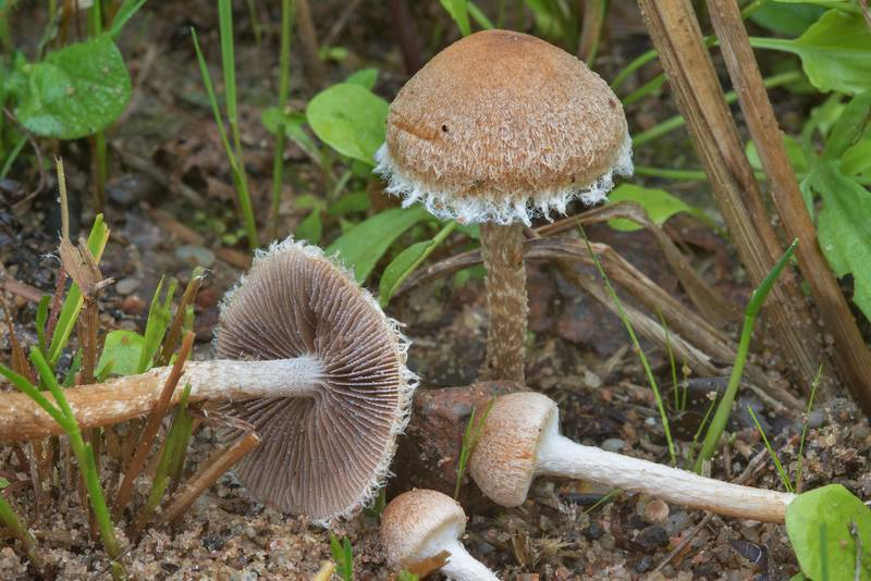 "Mushrooms <B>Lacrymaria pyrotricha</B> near Lembolovo, 40 miles north from Saint Petersburg. Russia, <A HREF=""../date-ru/2017-09-09.htm"">September 9, 2017</A>"