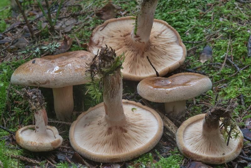 "Brown rollrim mushrooms (<B>Paxillus involutus</B>) in a spruce forest near Lembolovo, 40 miles north from Saint Petersburg. Russia, <A HREF=""../date-ru/2017-09-09.htm"">September 9, 2017</A>"