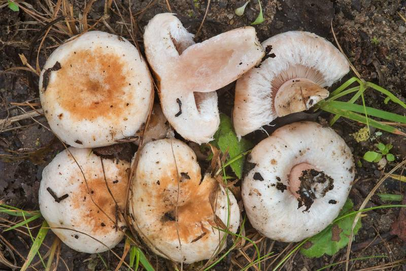 "Bearded milkcap mushrooms (<B>Lactarius pubescens</B>) on roadside near Lembolovo, 40 miles north from Saint Petersburg. Russia, <A HREF=""../date-ru/2017-09-09.htm"">September 9, 2017</A>"