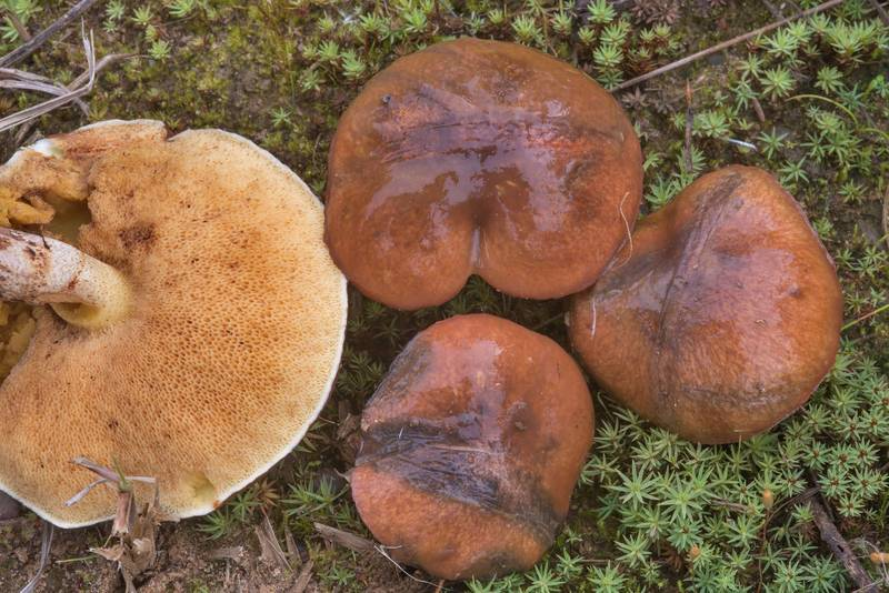 "Slippery Jack mushrooms (<B>Suillus luteus</B>) north from Lembolovo, 40 miles north from Saint Petersburg. Russia, <A HREF=""../date-en/2017-09-09.htm"">September 9, 2017</A>"