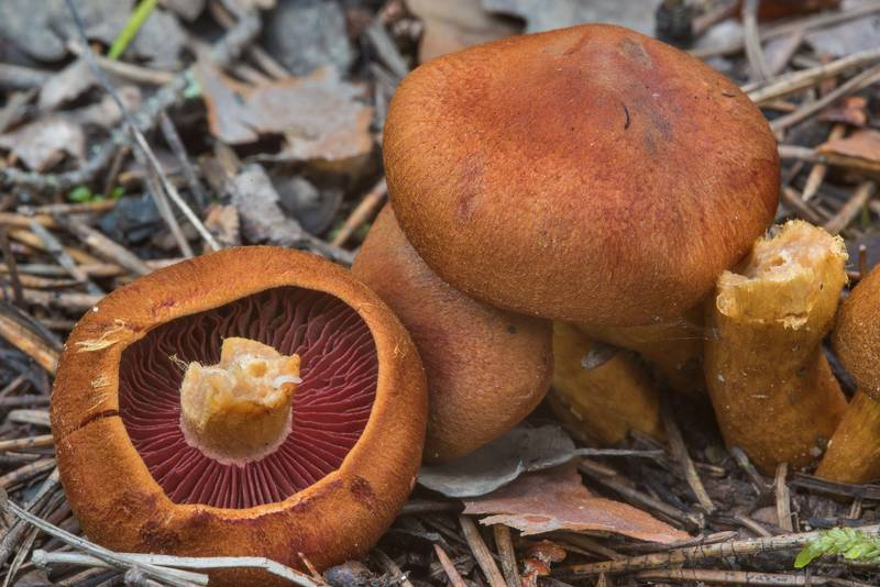 "Imperial webcap mushrooms (<B>Cortinarius purpureus</B>) north from Lembolovo, 40 miles north from Saint Petersburg. Russia, <A HREF=""../date-en/2017-09-09.htm"">September 9, 2017</A>"