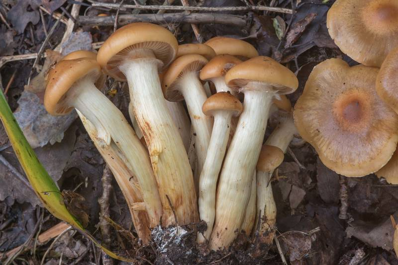 "Bunch of scalycap mushrooms <B>Pholiota pinicola</B> (Flammula pinicola) north from Lembolovo, 40 miles north from Saint Petersburg. Russia, <A HREF=""../date-ru/2017-09-09.htm"">September 9, 2017</A>"