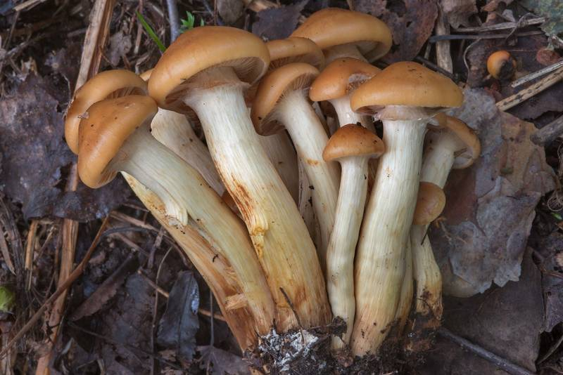 "Scalycap mushrooms <B>Pholiota pinicola</B> (Flammula pinicola) growing together near Orekhovo, 45 miles north from Saint Petersburg. Russia, <A HREF=""../date-ru/2017-09-09.htm"">September 9, 2017</A>"