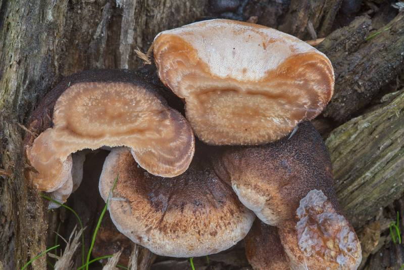 Resinous polypore mushrooms (Ischnoderma resinosum) on a pine stump near a railroad stop in Orekhovo, 45 miles north from Saint Petersburg. Russia, September 9, 2017