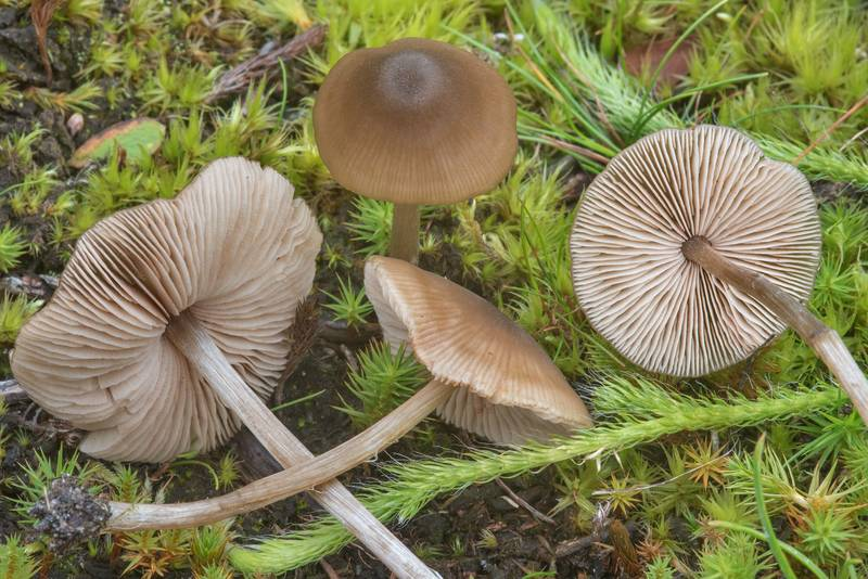 "Star pinkgill mushrooms (<B>Entoloma conferendum</B>) in a swamp near Vyritsa, 50 miles south from Saint Petersburg. Russia, <A HREF=""../date-en/2017-09-10.htm"">September 10, 2017</A>"