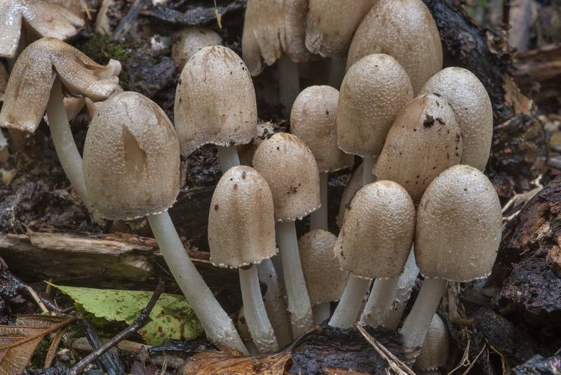 Common inkcap (inky cap) mushrooms Coprinopsis atramentaria in Blizhnie Dubki area near Lisiy Nos, west from Saint Petersburg. Russia, September 11, 2017