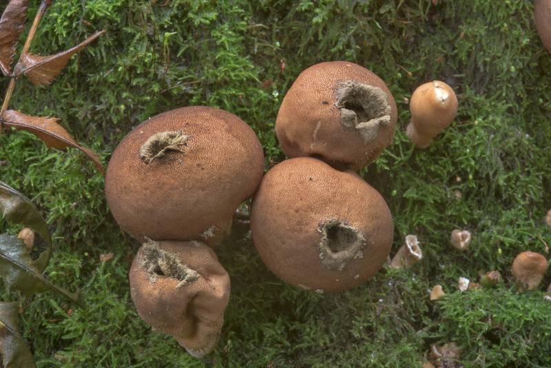 Stump puffball mushrooms (Lycoperdon pyriforme) in Blizhnie Dubki area near Lisiy Nos, west from Saint Petersburg. Russia, September 11, 2017