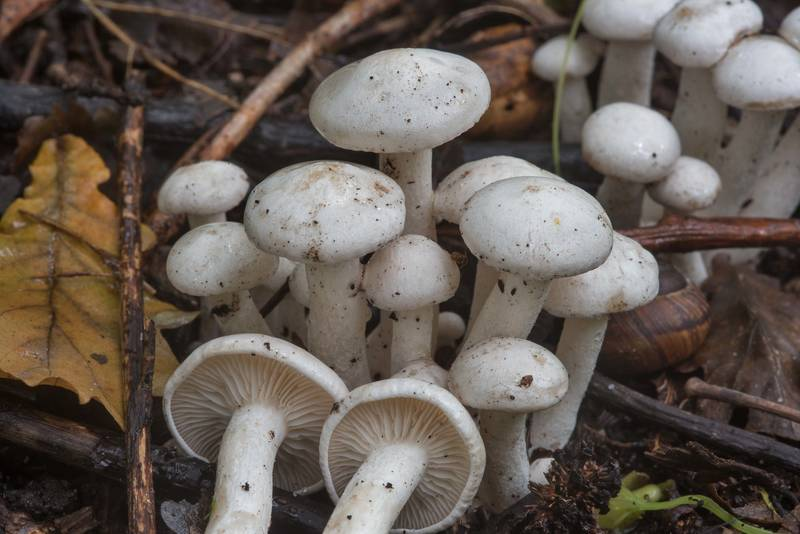 "White domecap mushrooms (<B>Leucocybe connata</B>) on roadside in Blizhnie Dubki area near Lisiy Nos, west from Saint Petersburg. Russia, <A HREF=""../date-en/2017-09-11.htm"">September 11, 2017</A>"