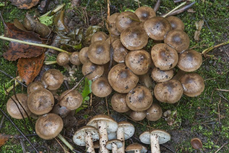 Cluster of young domecap mushrooms (Lyophyllum fumosum) in Blizhnie Dubki area near Lisiy Nos, west from Saint Petersburg. Russia, September 11, 2017