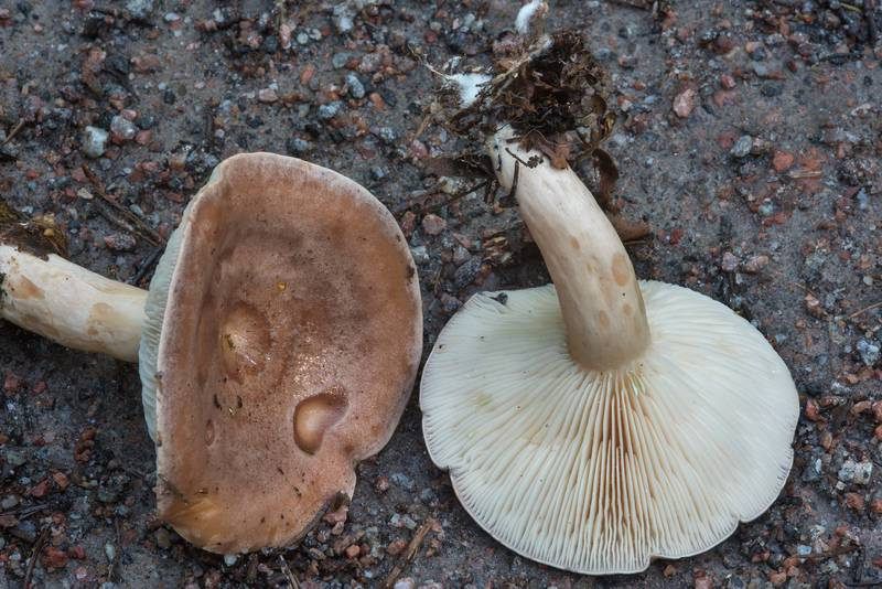 "Tacked milkcap mushrooms (<B>Lactarius trivialis</B>) in Blizhnie Dubki area near Lisiy Nos, west from Saint Petersburg. Russia, <A HREF=""../date-ru/2017-09-11.htm"">September 11, 2017</A>"