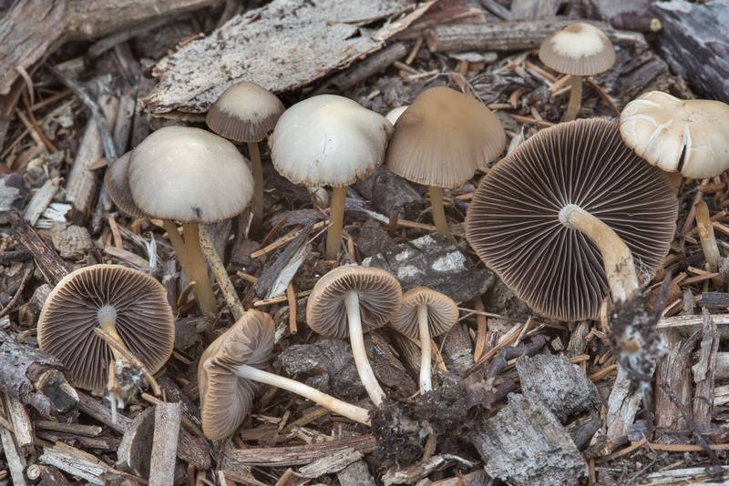 Brown and pale buff-brown caps of brittlestem mushrooms Psathyrella corrugis on wood chips in Botanic Gardens of Komarov Botanical Institute. Saint Petersburg, Russia, September 12, 2017