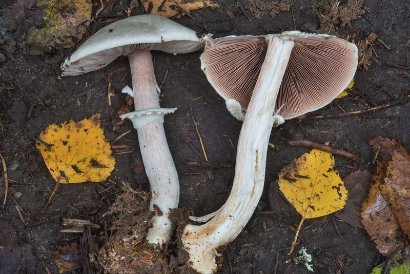"Dissected wood mushroom (<B>Agaricus sylvicola</B>) in Pavlovsk Park. Pavlovsk, a suburb of Saint Petersburg, Russia, <A HREF=""../date-ru/2017-09-14.htm"">September 14, 2017</A>"