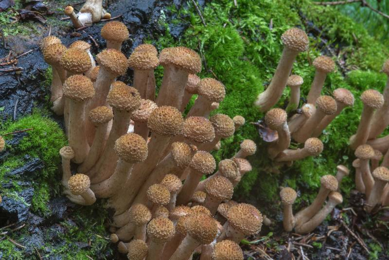 "Immature northern honey mushrooms (<B>Armillaria borealis</B>) in Pavlovsk Park. Pavlovsk, a suburb of Saint Petersburg, Russia, <A HREF=""../date-ru/2017-09-14.htm"">September 14, 2017</A>"