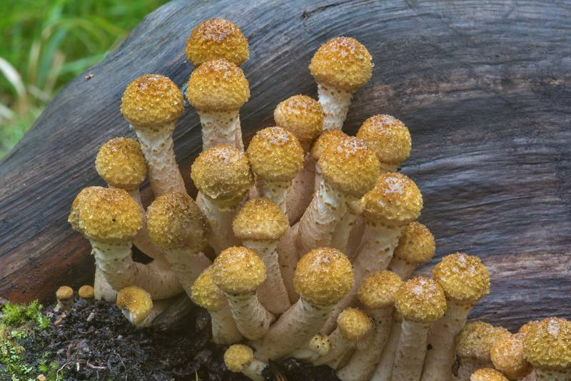 "Close up of young northern honey mushrooms (<B>Armillaria borealis</B>) in Pavlovsk Park. Pavlovsk, a suburb of Saint Petersburg, Russia, <A HREF=""../date-en/2017-09-14.htm"">September 14, 2017</A>"