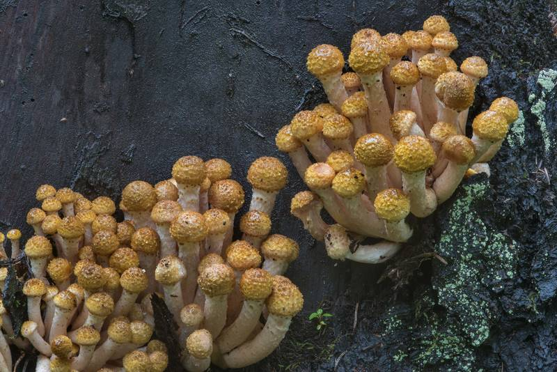 "Groups of young northern honey mushrooms (<B>Armillaria borealis</B>) on a stump in Pavlovsk Park. Pavlovsk, a suburb of Saint Petersburg, Russia, <A HREF=""../date-ru/2017-09-14.htm"">September 14, 2017</A>"