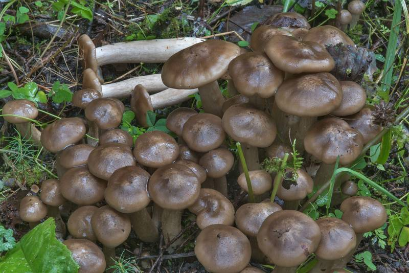 Cluster of mushrooms Lyophyllum fumosum on roadside west from Kavgolovskoe Lake near Toksovo, north from Saint Petersburg. Russia, September 15, 2017