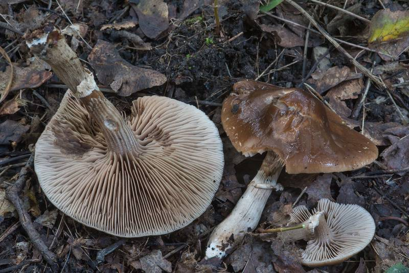 "Dark fieldcap (<B>Cyclocybe erebia</B>) mushrooms in Sosnovka Park. Saint Petersburg, Russia, <A HREF=""../date-ru/2017-09-16.htm"">September 16, 2017</A>"
