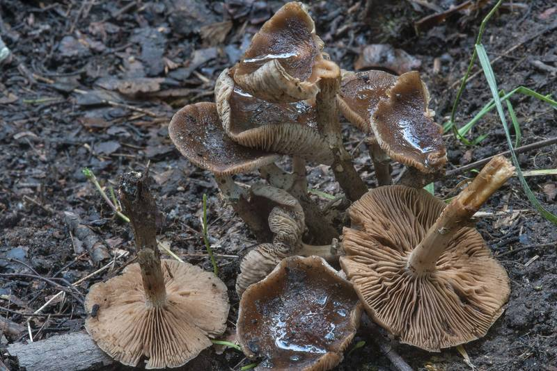 "Dark fieldcap (<B>Cyclocybe erebia</B>) mushrooms in shade under maples in Sosnovka Park. Saint Petersburg, Russia, <A HREF=""../date-ru/2017-09-16.htm"">September 16, 2017</A>"