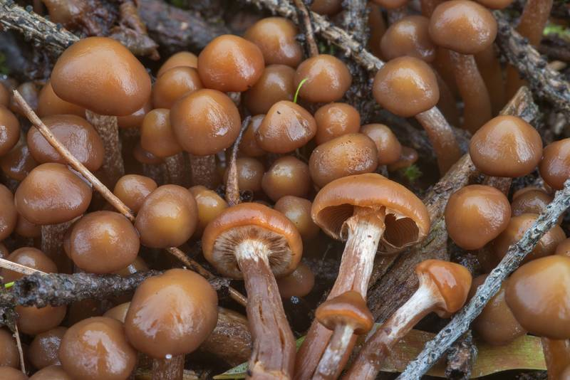 Young conifer woodtuft mushrooms (Kuehneromyces lignicola)(?) on a forest cutting near Dibuny, north-west from Saint Petersburg. Russia, September 18, 2017