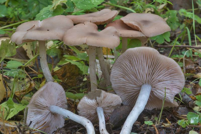 "Group of wood pinkgill mushrooms (<B>Entoloma rhodopolium</B>) in Blizhnie Dubki area near Lisiy Nos, west from Saint Petersburg. Russia, <A HREF=""../date-ru/2017-09-21.htm"">September 21, 2017</A>"